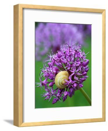 Purple Allium Flower-Wonderful Dream-Framed Art Print