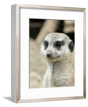 Meerkat Mammal Africa Animal-Wonderful Dream-Framed Art Print