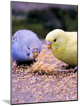 Eating Budgie Bird Wildlife-Wonderful Dream-Mounted Art Print