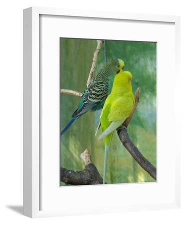 Budgie In The Nature-Wonderful Dream-Framed Art Print