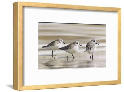 Sanderlings-Richard Clifton-Framed Art Print