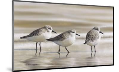 Sanderlings-Richard Clifton-Mounted Art Print