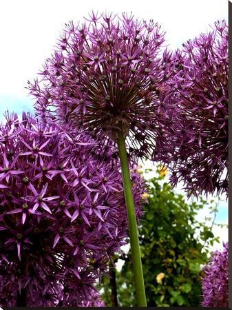Purple Allium Flower 2-Wonderful Dream-Stretched Canvas Print