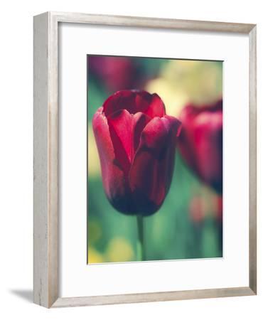 Tulip Sway I-Sonja Quintero-Framed Art Print