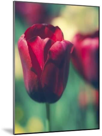 Tulip Sway I-Sonja Quintero-Mounted Art Print