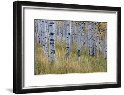 Aspen in Meadow-Don Paulson-Framed Giclee Print