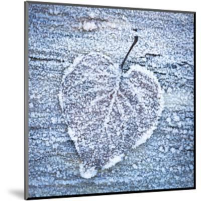 Frost on Alder Leaves 5-Don Paulson-Mounted Giclee Print