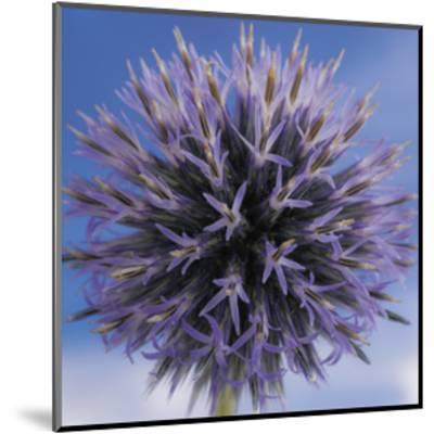 Globe Thistle-Don Paulson-Mounted Giclee Print
