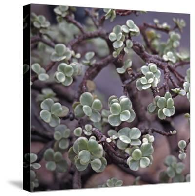 Succulent 13-Ken Bremer-Stretched Canvas Print