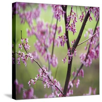 Tree Blossoms-Ken Bremer-Stretched Canvas Print