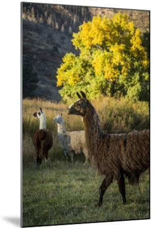 Llama Portrait III-Tyler Stockton-Mounted Art Print