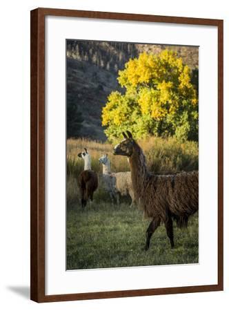 Llama Portrait III-Tyler Stockton-Framed Art Print