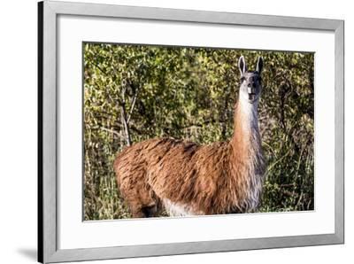Llama Portrait VIII-Tyler Stockton-Framed Art Print