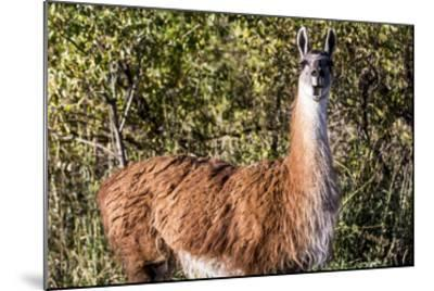Llama Portrait VIII-Tyler Stockton-Mounted Art Print