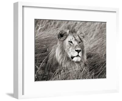 African lion, Masai Mara, Kenya-Frank Krahmer-Framed Art Print