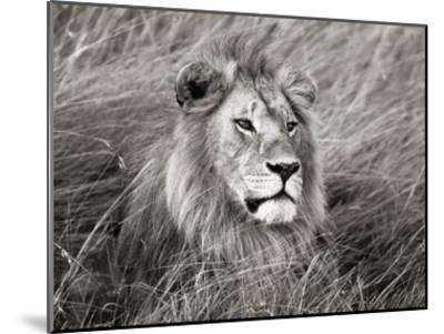 African lion, Masai Mara, Kenya-Frank Krahmer-Mounted Art Print