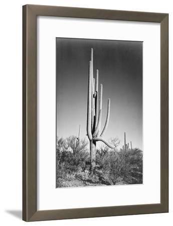 Full view of cactus and surrounding shrubs, In Saguaro National Monument, Arizona, ca. 1941-1942-Ansel Adams-Framed Art Print