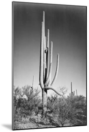 Full view of cactus and surrounding shrubs, In Saguaro National Monument, Arizona, ca. 1941-1942-Ansel Adams-Mounted Art Print