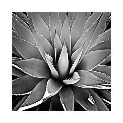 Succulent III-Mia Jensen-Giclee Print