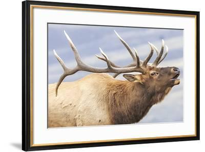 Bugling Elk--Framed Giclee Print