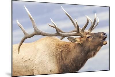 Bugling Elk--Mounted Giclee Print