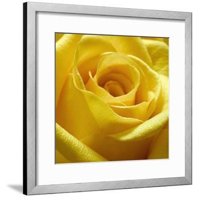 Yellow Rose-PhotoINC Studio-Framed Art Print