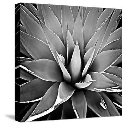 Succulent III-Mia Jensen-Stretched Canvas Print