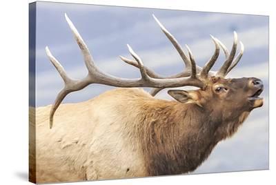 Bugling Elk--Stretched Canvas Print