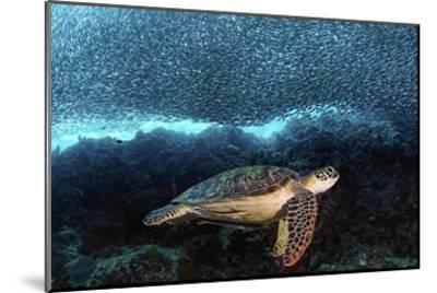 Turtle And Sardines-Henry Jager-Mounted Giclee Print