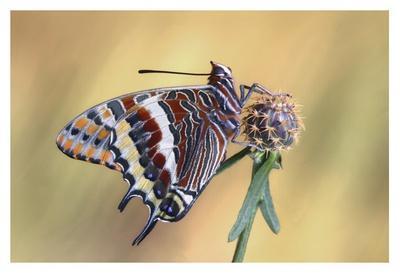 La Mariposa Del Madroa-Jimmy Hoffman-Framed Giclee Print