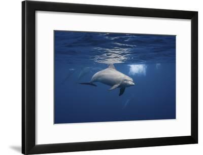 Curious Dolphin-Barathieu Gabriel-Framed Giclee Print