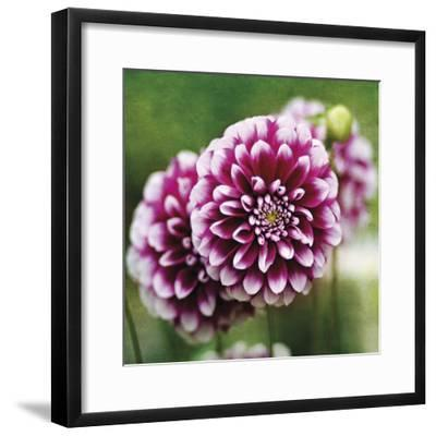 Dahlia Bloom-Pete Kelly-Framed Giclee Print
