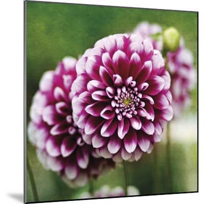 Dahlia Bloom-Pete Kelly-Mounted Giclee Print