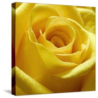 Yellow Rose-PhotoINC Studio-Stretched Canvas Print