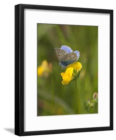 Blue Butterfly Yellow Blossom-Grab My Art-Framed Art Print