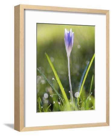 Crocus Springflower-Grab My Art-Framed Art Print