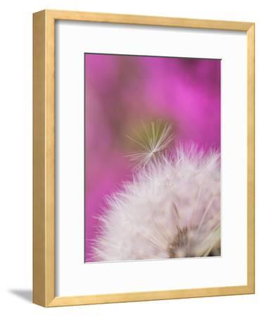 Dandelion Seedhead Flower 3-Grab My Art-Framed Art Print