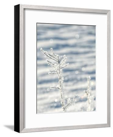 Single Frosty Branch-Grab My Art-Framed Art Print