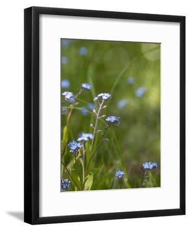 Forget Me Not 3-Lebens Art-Framed Art Print