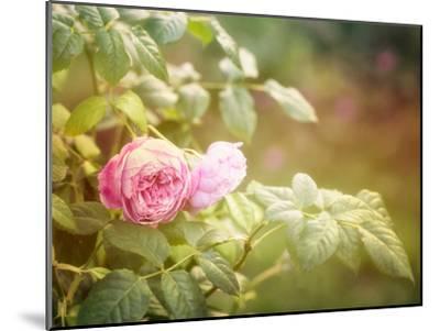 Summer Rose-Lebens Art-Mounted Art Print