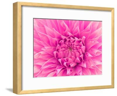 Pink Dahlia-Lebens Art-Framed Art Print