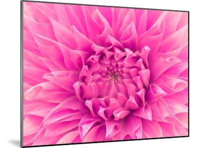 Pink Dahlia-Lebens Art-Mounted Art Print