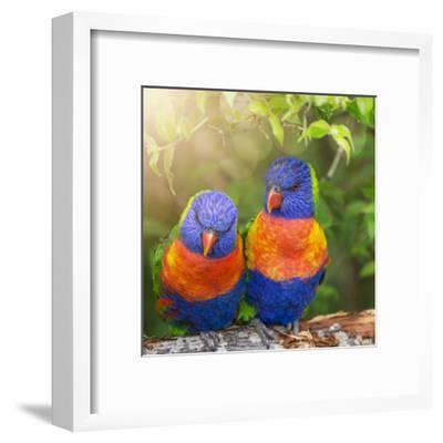 Lory Birds - Square-Lebens Art-Framed Giclee Print