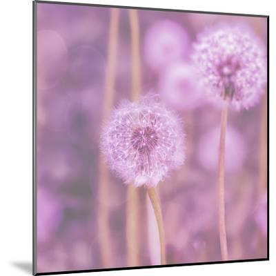 Pink Dandelion - Square-Lebens Art-Mounted Giclee Print