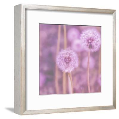 Pink Dandelion - Square-Lebens Art-Framed Giclee Print