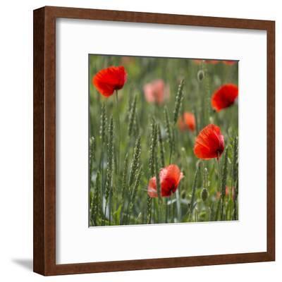 Poppy Field - Square-Lebens Art-Framed Art Print