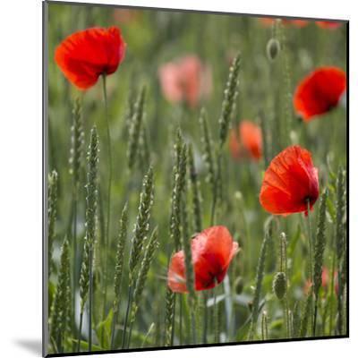 Poppy Field - Square-Lebens Art-Mounted Art Print