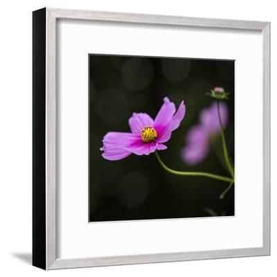 Cosmea Flower - Square-Lebens Art-Framed Art Print