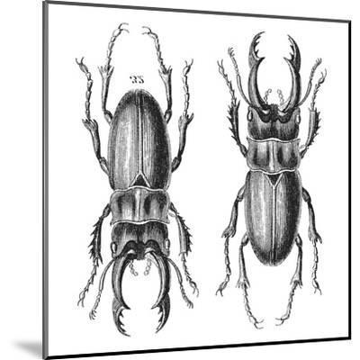 Stag Beetle - Square-Lebens Art-Mounted Art Print