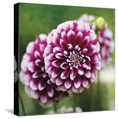 Dahlia Bloom-Pete Kelly-Stretched Canvas Print